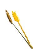 Wheaten Ohr und Ohr der Pasten Lizenzfreies Stockbild