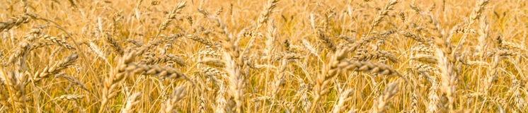 Wheaten pole dojrzewający ucho obraz stock