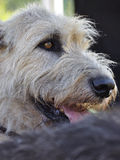 Wheaten portrait Royalty Free Stock Photos