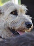 Wheaten portrait. Portrait of a wheaten colored Irish Wolfhound royalty free stock photos