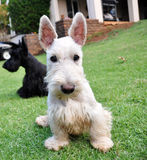 Wheaten Scottish Terrier. A white and black scottish terrier Stock Images