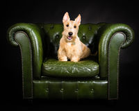 Wheaten Scottish Terrier. Sat on an old green chair on a black background Stock Photography
