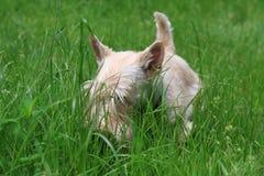 Wheaten Scottish Terrier walks in the garden. Wheaten Scottish Terrier walks in the summer garden royalty free stock image