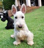 wheaten skotsk terrier Arkivbilder