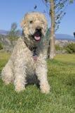 Wheaten Terrier Stockfotos