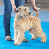 Wheaten terrier Royalty Free Stock Photography