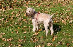Wheaten Terrier Stock Photo