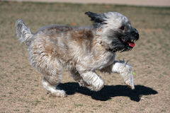 Wheaten Terrier playing at the park. Soft Coated Wheaten Terrier running and playing at the park stock photo