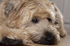 Wheaten Terrier Portrait Royalty Free Stock Images