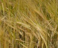 Wheaten ucho Obrazy Royalty Free