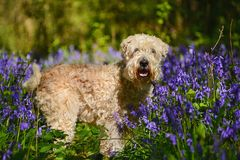 Wheaten in the Woods Stock Photos