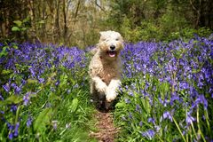Wheaten In The Woods Royalty Free Stock Photography