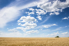 Wheatfield и небо лета голубое Стоковые Фотографии RF