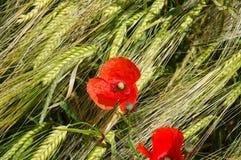wheatfield мака Стоковая Фотография