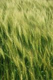 wheatfield Obrazy Royalty Free