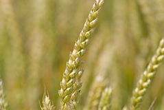 Wheatfield Immagine Stock
