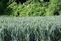 Wheatfield. Wheatfiel in Aisne,Picardy region of France Stock Photos