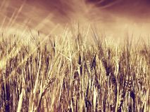 Wheatfield fotografia stock libera da diritti