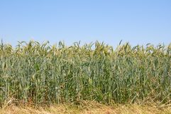 Wheatfield Stock Photos