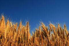 Wheatfield Images stock