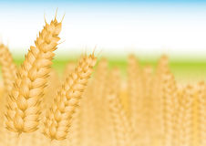 Wheatfield Royalty Free Stock Photo