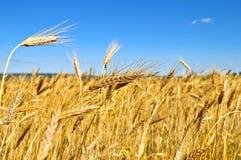 wheatfield 库存照片