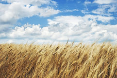Wheatfield Royalty Free Stock Photos
