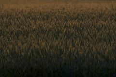 Wheatfield. Is lit by the setting sun on the Veluwe, Netherlands Stock Photography
