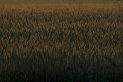Wheatfield Stock Photography