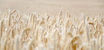 Wheatfield Стоковая Фотография RF