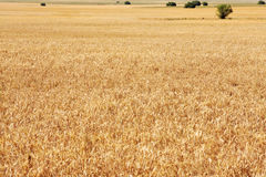 wheatfield 免版税库存图片