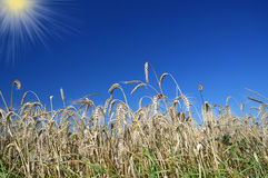Wheatfield Fotos de Stock Royalty Free