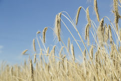 Wheatfield Obraz Royalty Free