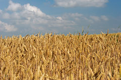 Wheatfield stockbild