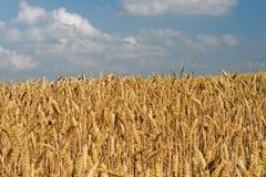 Wheatfield Stock Image
