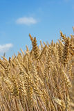 Wheatfield stockfoto