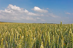 Wheatfield Royalty Free Stock Photography