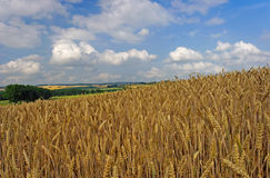 Wheatfield. Before harvest with sky Royalty Free Stock Images