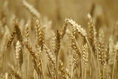 wheatfield obrazy royalty free