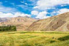 Wheatfield in the arid Ladakh region in India Stock Photo