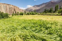 Wheatfield in the arid Ladakh region in India Royalty Free Stock Image