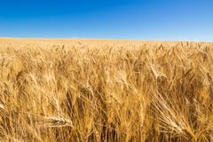 Wheatfield with blue sky in Valensole in Summer. Alpes de Hautes Provence, Alps, France Royalty Free Stock Photography