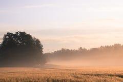 Wheatfield de niebla en el sol de la mañana Foto de archivo