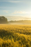Wheatfield de oro por una mañana brumosa Foto de archivo libre de regalías