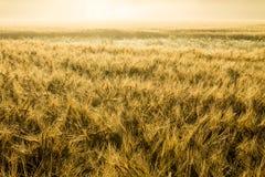 Wheatfield dorato nel sole nebbioso di mattina Fotografie Stock
