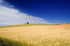 Wheatfield e uma árvore Imagens de Stock
