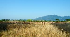 Wheatfield in eastern plain of Corsica Stock Photo
