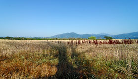 Wheatfield in eastern plain of Corsica Royalty Free Stock Images