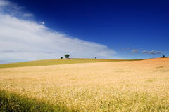 Wheatfield et un arbre Images stock