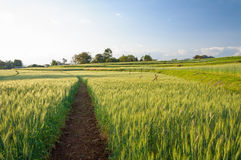Wheatfield in evening light. Royalty Free Stock Images